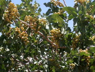 Fertilización del pistacho