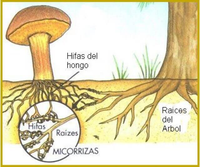 que son las micorrizas