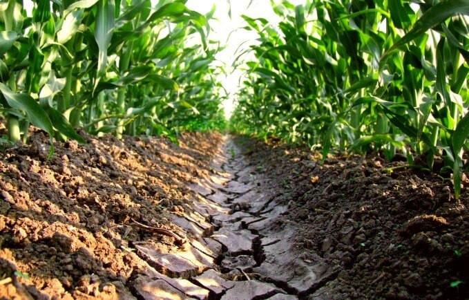salinidad del suelo en maíz