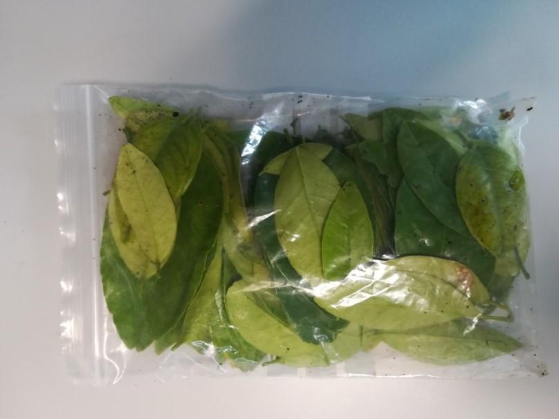 muestra hojas de naranjo