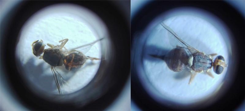 tratamientos mosca del olivo