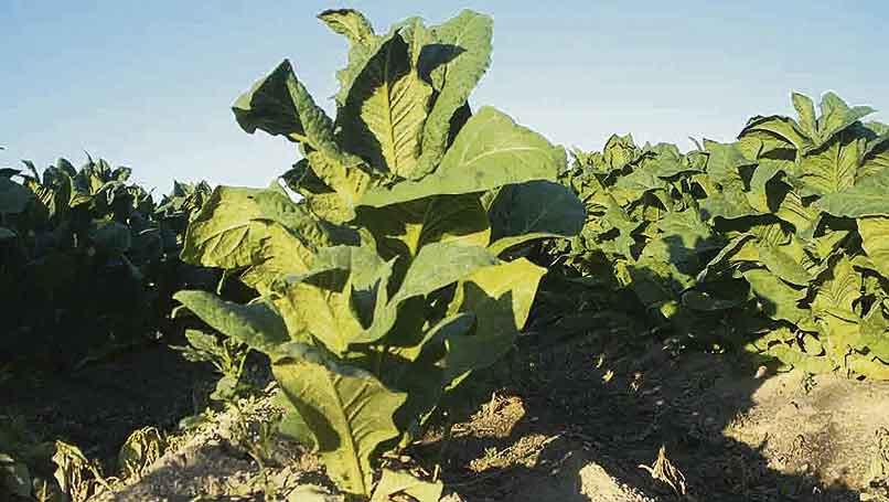 """Planta de tabaco variedad """"Virginia"""" cultivado en la provincia de Cáceres para secado artificial."""