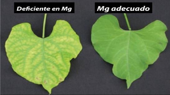 deficiencia de magnesio en las plantas