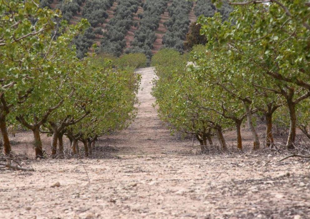 cultivos de pistacho