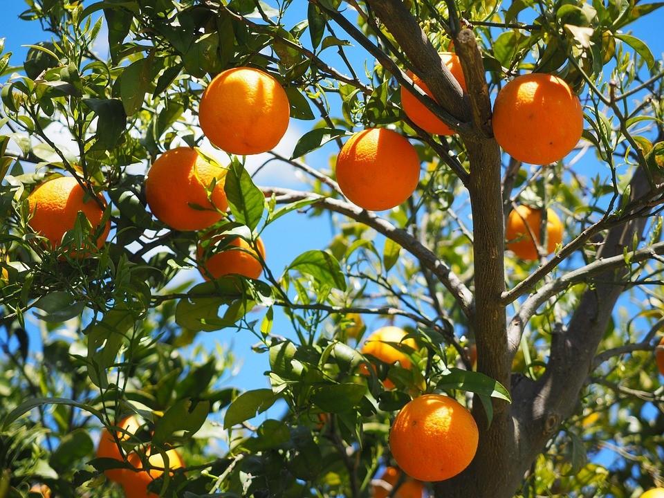 citricos, analisis de savia