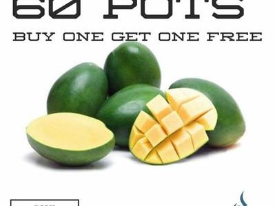 African Green Mango...BOGOF!