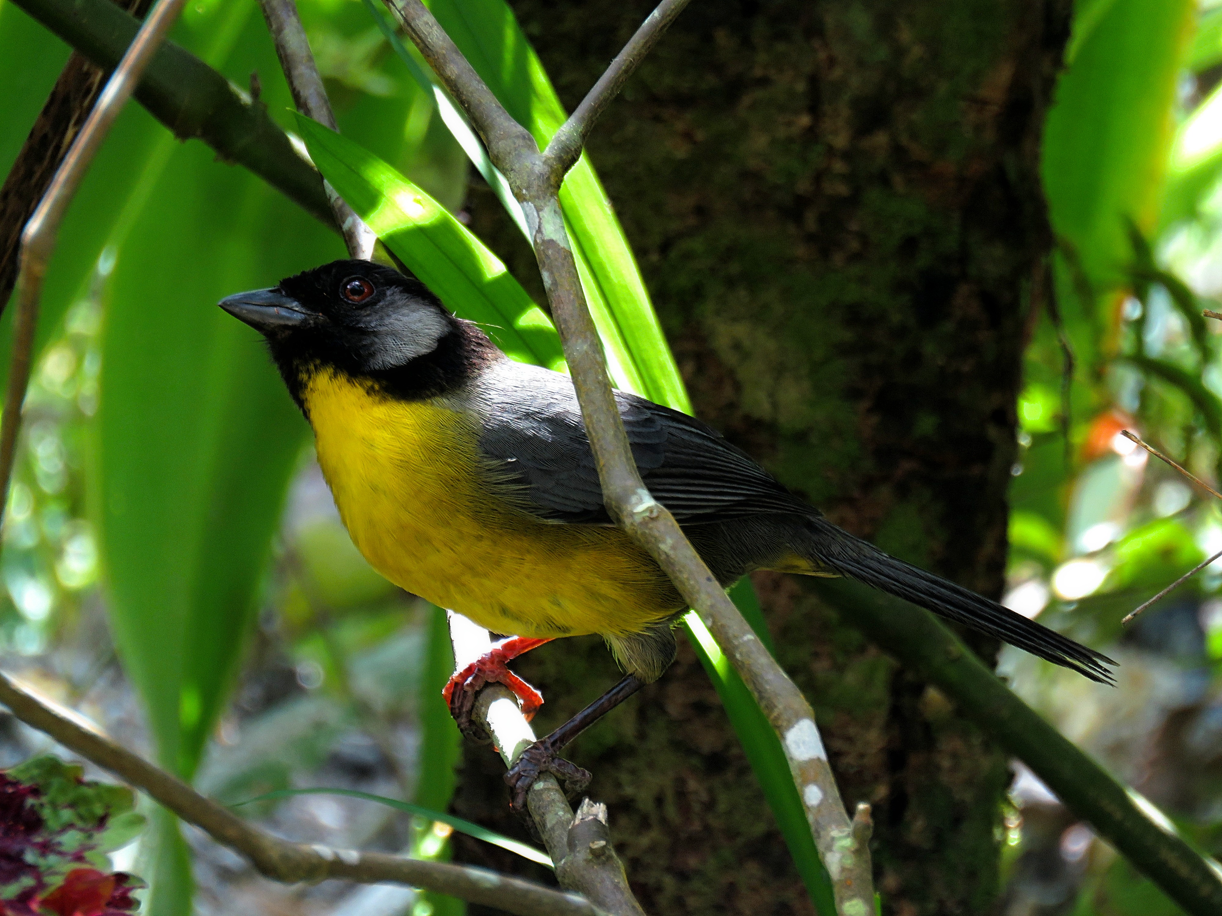 Santa Marta Brushfinch. EN