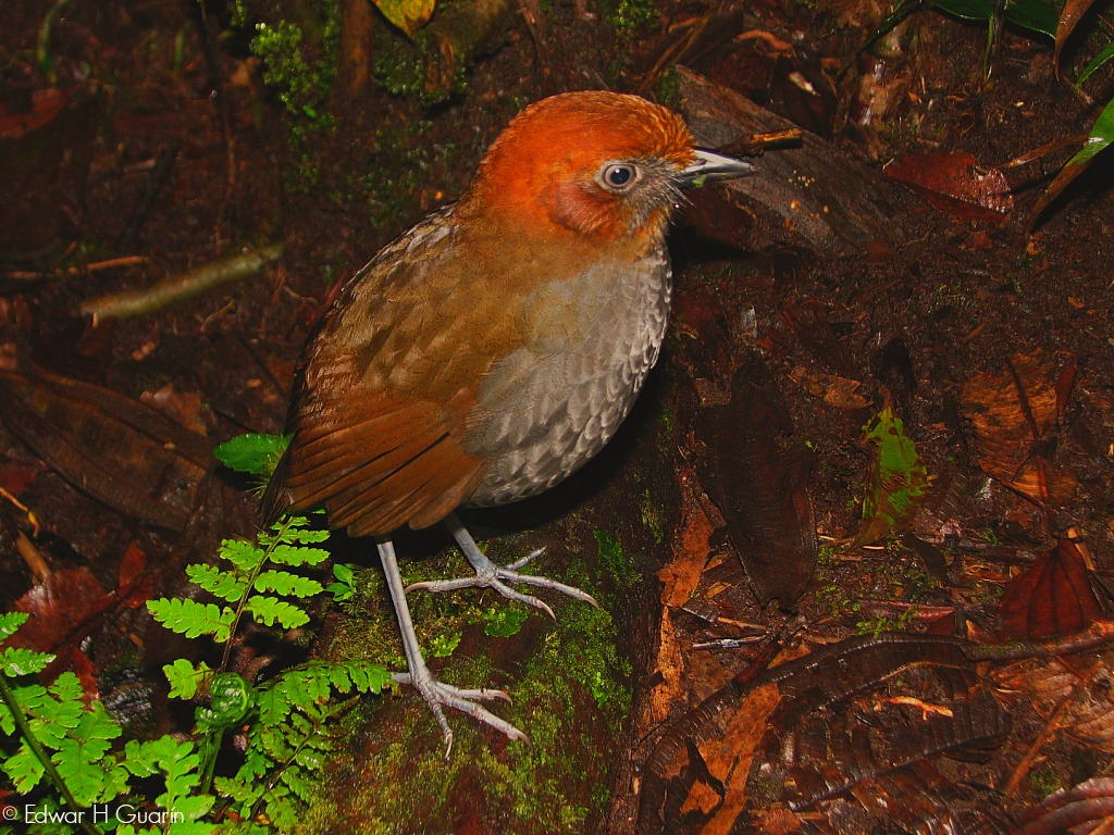 Chestnut-naped Anpitta