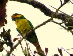 Yellow-eared Parrot. EN