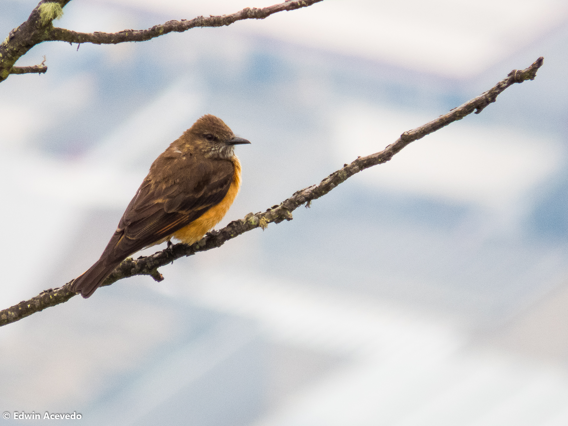 Streak-throated Bush Tyrant