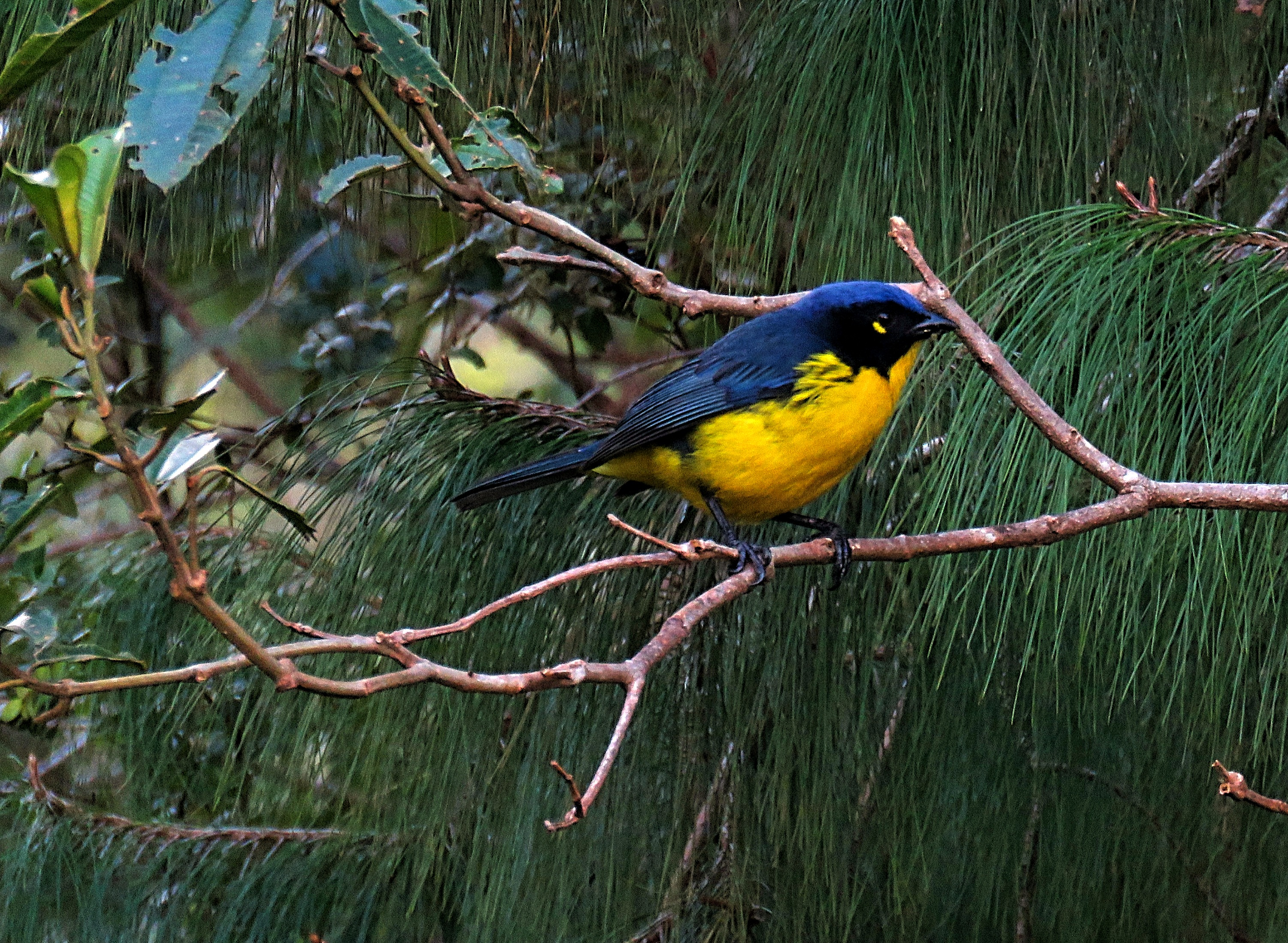 Black-cheeked Mountain-Tanager. EN
