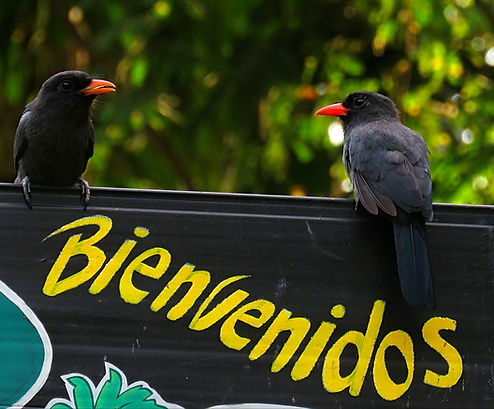 Birding in Colombia, Birdwatching in Colombia, Colombia endemic  birding tours/Birdwatching tours, Birding/Birdwatching in Amazon region, Birding/Birdwatching in south America, Birding/Birdwatching in the Colombia Andes, Colombia birding, Colombia Birdwatching, Birding in Medellin and Bogotá with local guide.