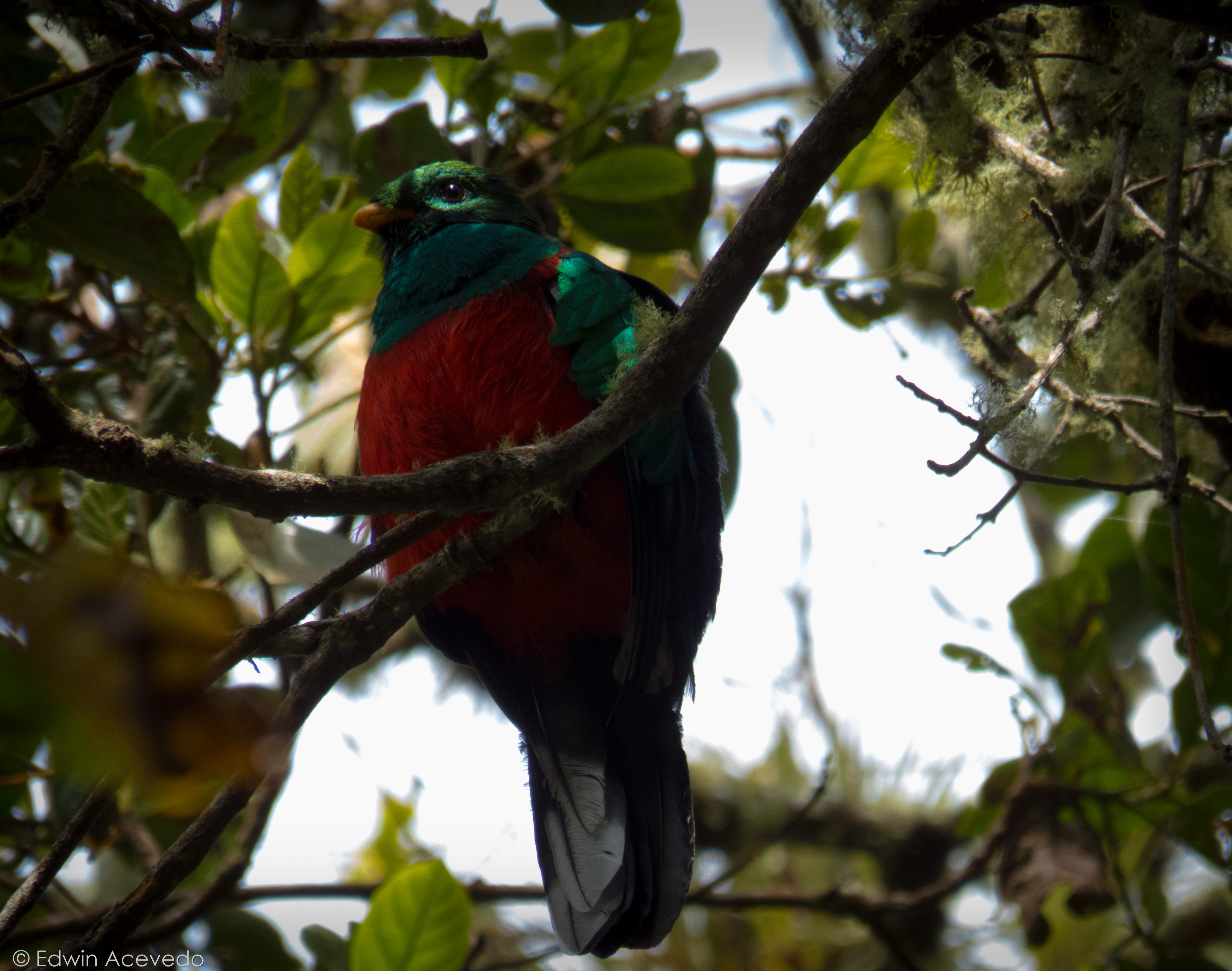 White-tipped Quetzal. NE