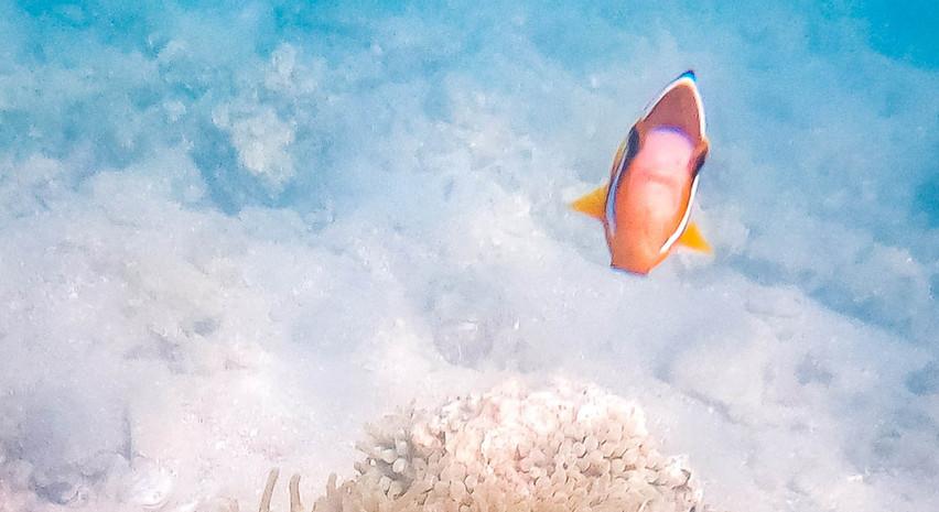 小丑魚 和 海葵