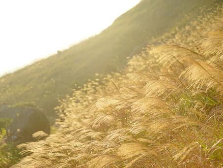 【秋天午後的芒草】大東山