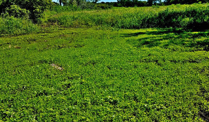 GRO-3 Way Annual Clover