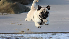 fawn%20pug%20jumping%20on%20water_edited