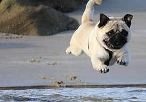 fawn%2520pug%2520jumping%2520on%2520wate