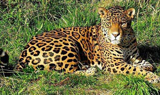 Jaguar Collado Reserve, Nicaragua