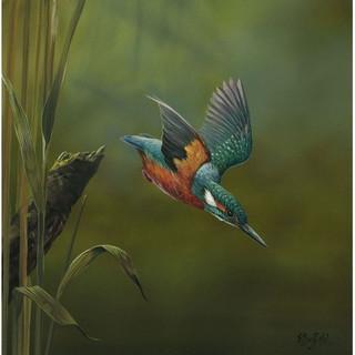 Kingfisher-Diving-1_m.jpg