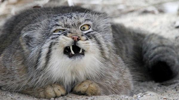 Pallas'_Cat.jpg