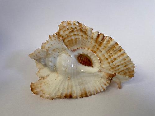 PTERYNOTUS BEDNALLI