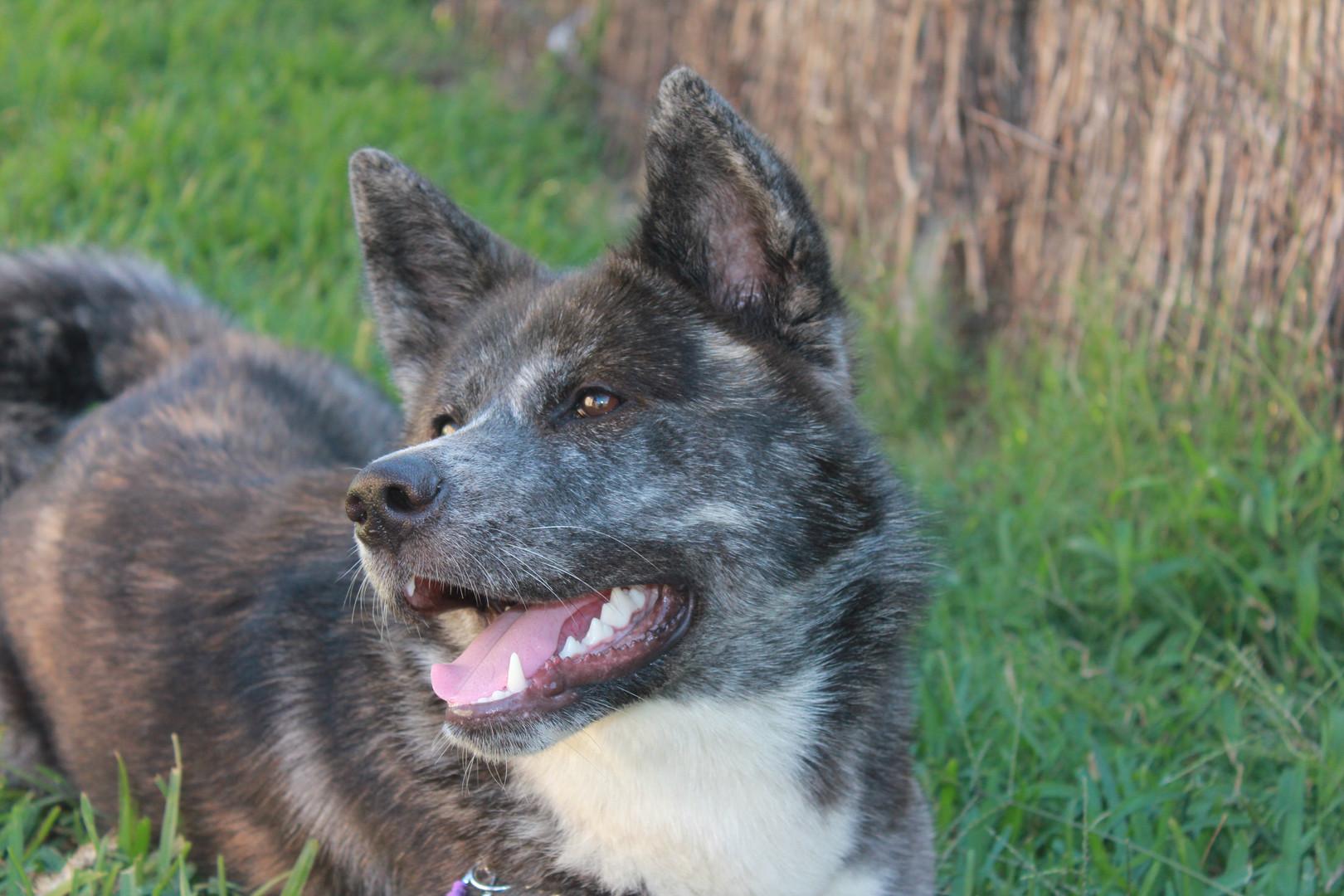 Saki the Akita smiling in the grass