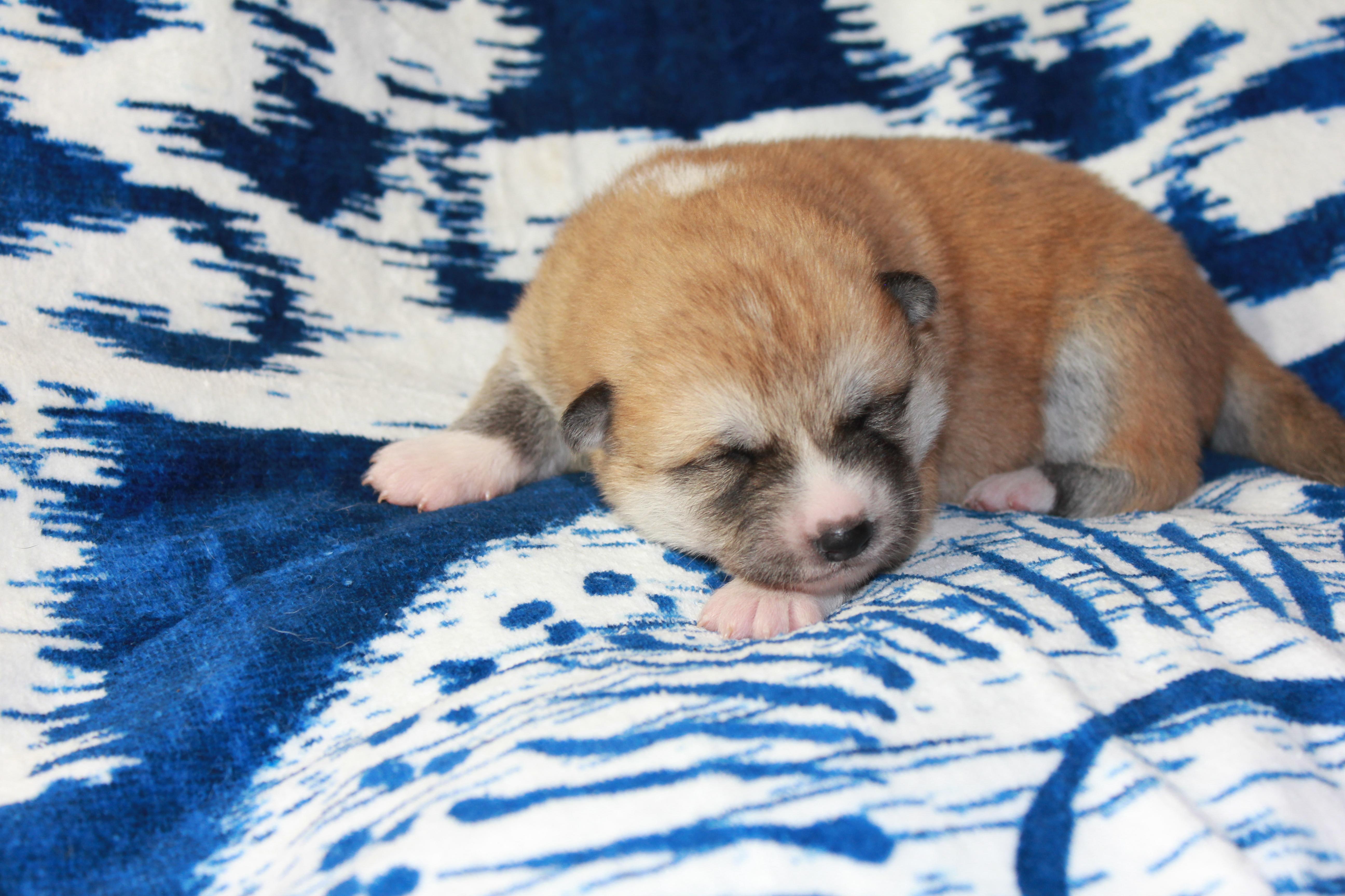 Red Akita Pup