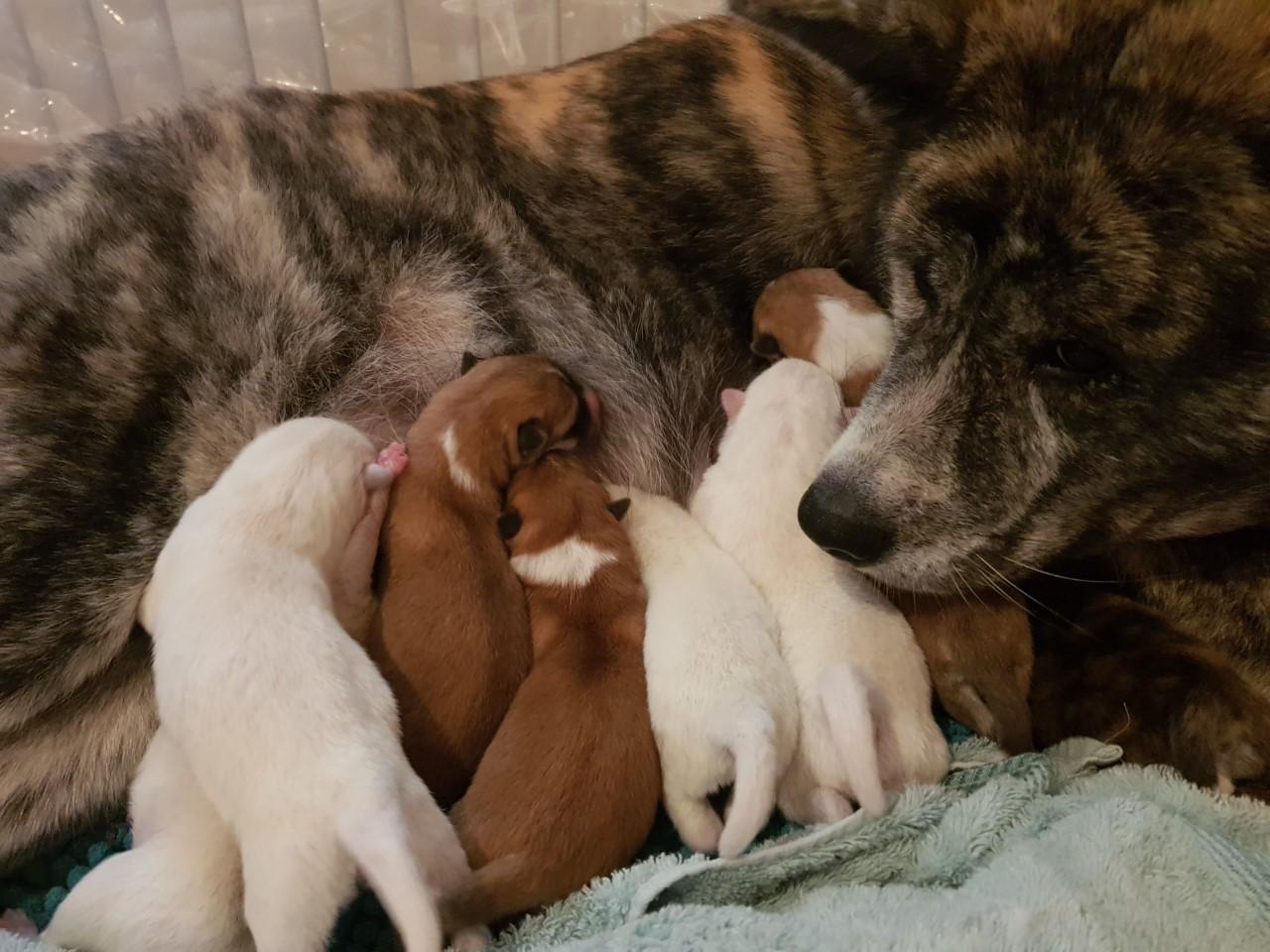 Akita Puppies with Mumma Tora
