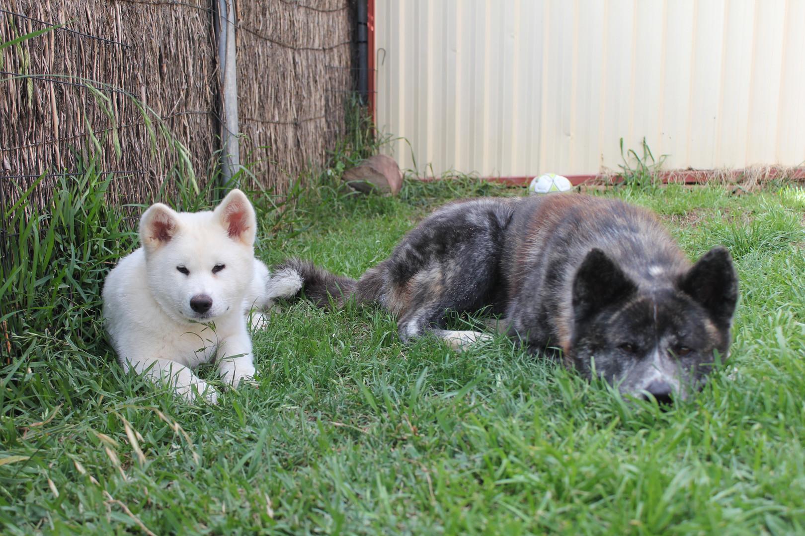 Saki and Momo the Akitas relaxing in the