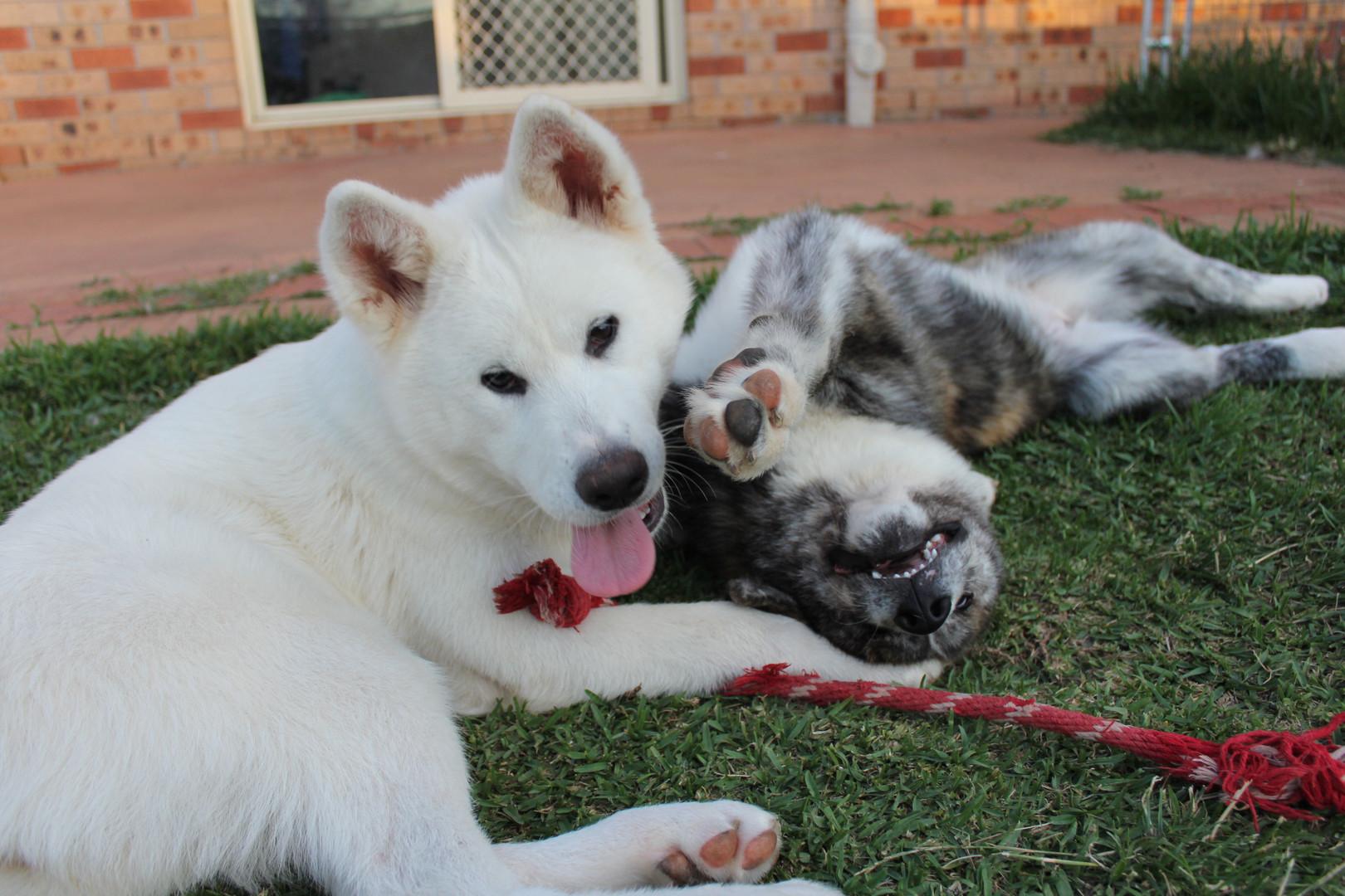 Akitas Momo and Tora play on the grass