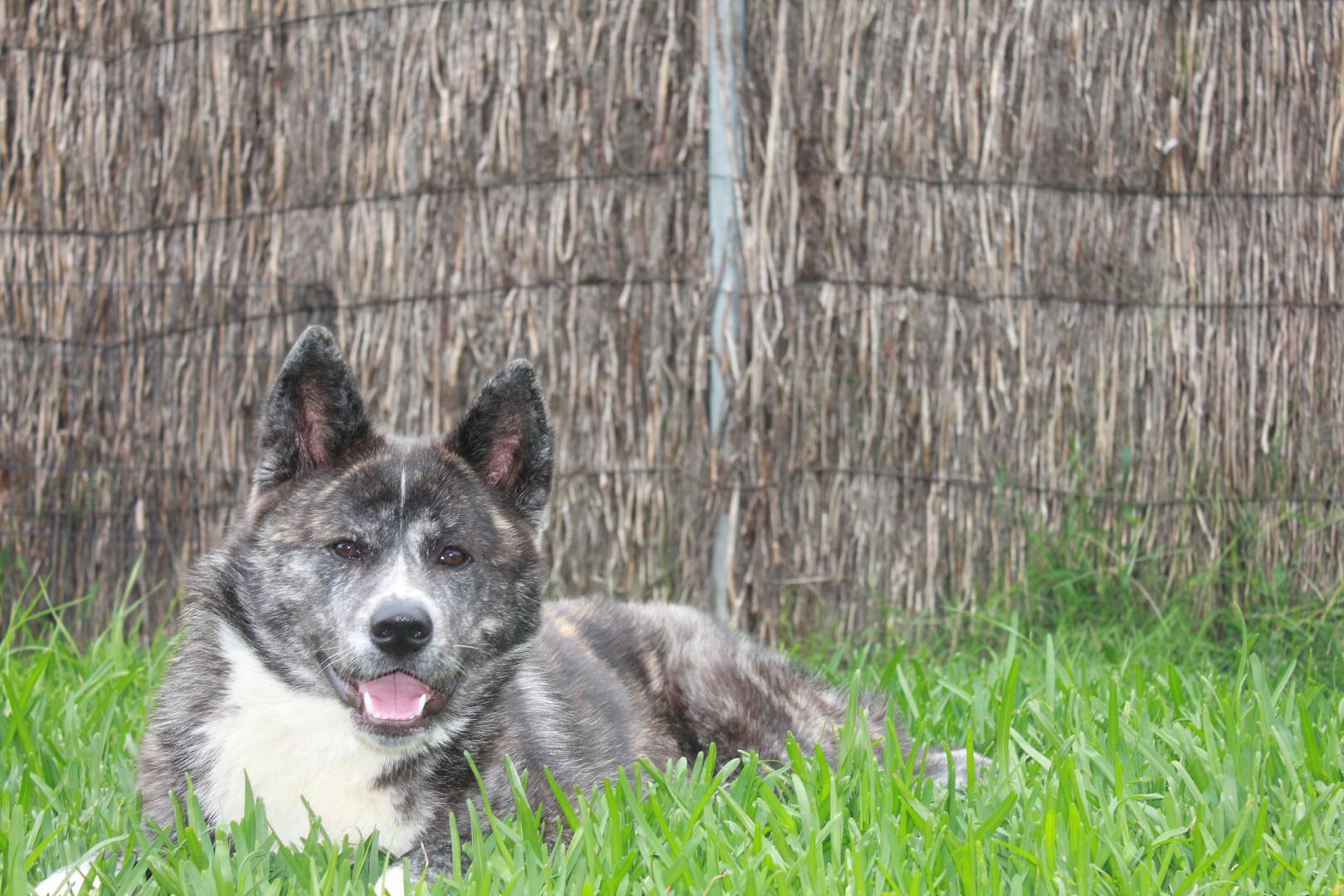 Saki the Akita in the green grass