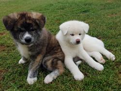 Tora and Luna the Akitas