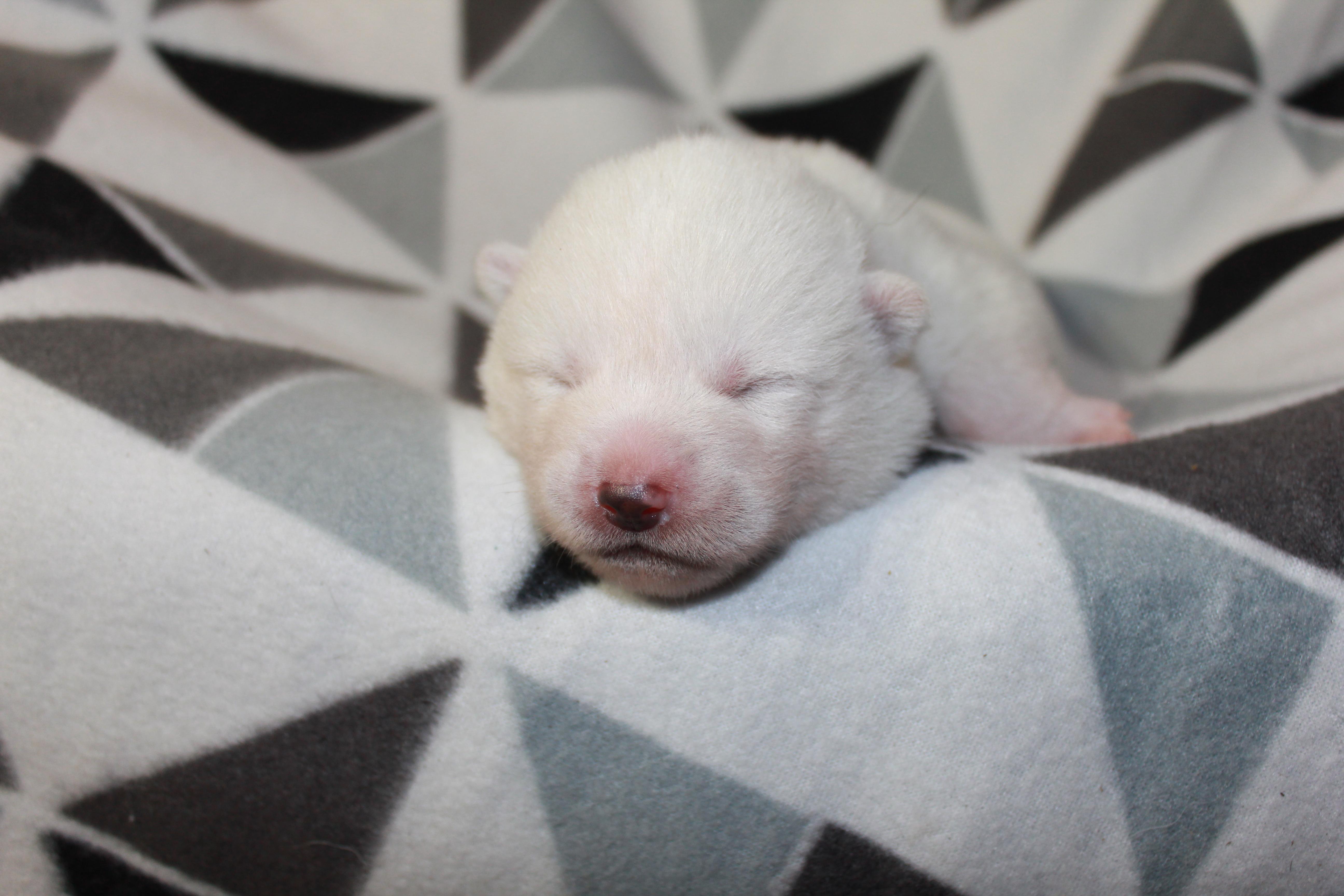 White Akita Puppy