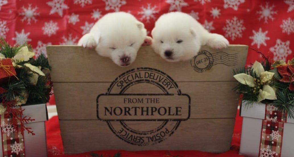 Japanese Akita White Puppies