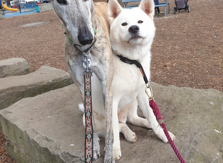 A day out with Taiho the Akita Inu!