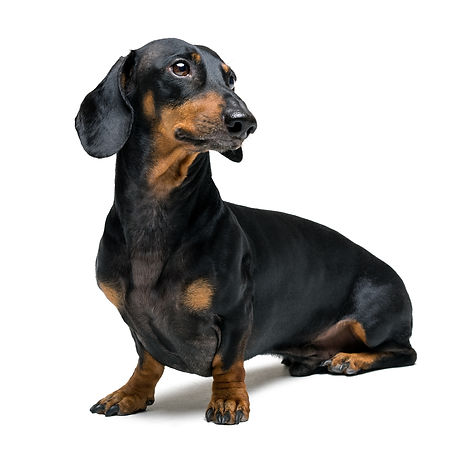 A dog (puppy) of the dachshund male bree