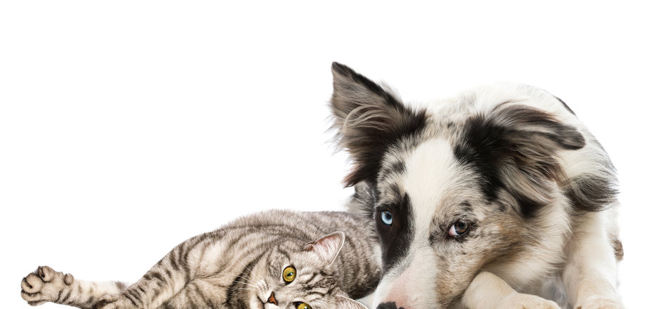Tabby cat kitten with border collie puppy