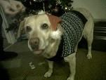 Meet Cara the Furever Gifts lovable Labrador Retriever dog