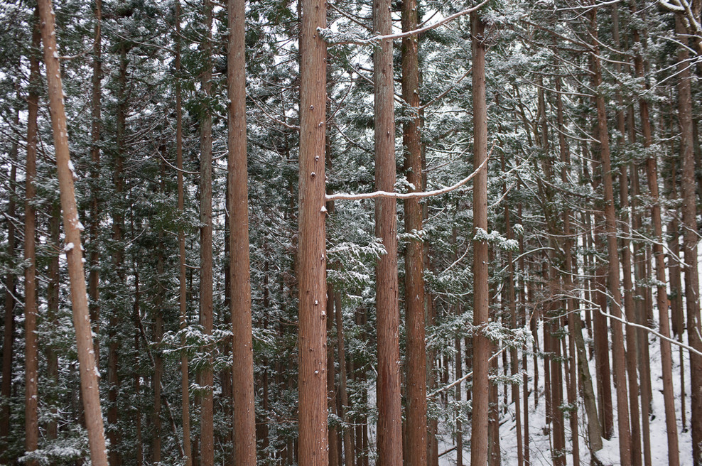 tree-lined-trail-to-jigokudani-monkey-park