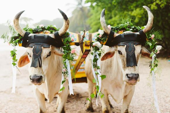 costa-rican-wedding-ox-cart-nosara-costa-rica