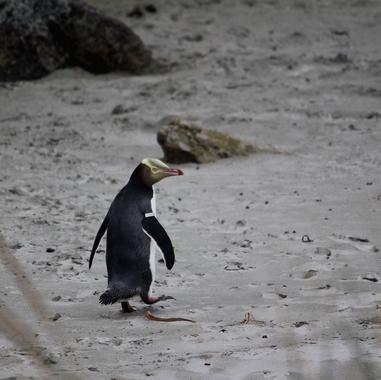 Yellow Eyed Penguin, Dunedin