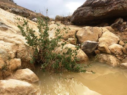 אזובית המדבר טבולה במי גשם שנקרו בסלע
