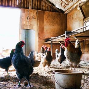 Chicken Rant
