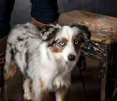 Blue merle toy aussie femail with two blue eyes