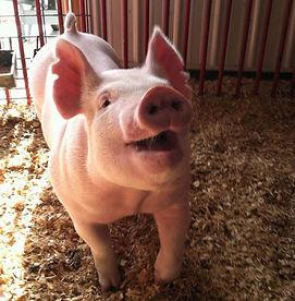 york barrow show pig