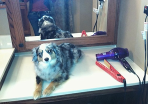 Blue merle toy aussie femail getting pampered