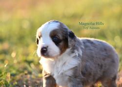 Blue merle puppy