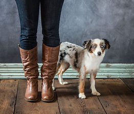 Blue merle toy aussie femail with two blue eyes portrait