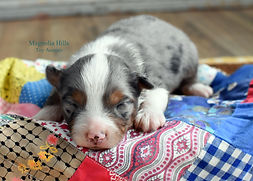 Blue Merle Mini Aussie with Sharp Copper Points